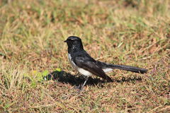 Willie Wagtail bird on dry lawn. A Willie Wagtail bird on the dry ground. Native to Australia Royalty Free Stock Photos