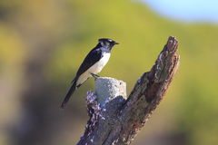 Willie Wagtail bird on trunk with droppings Royalty Free Stock Photos