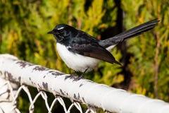 Willie Wagtail Bird på ett vitt staket Royaltyfri Foto
