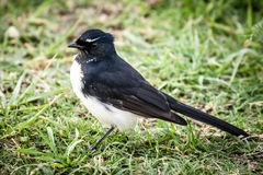Willie Wagtail Bird Standing  in Grass Royalty Free Stock Photography