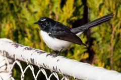 Willie Wagtail Bird on a White Fence. Australian bird Willie Wagtail  (Rhipidura leucophrys) sitting on an old white fence in a garden Royalty Free Stock Photo