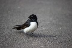 Willie Wagtail, black and white bird on street. Closeup of Australian black and white bird Willie Wagtail, standing an a road Royalty Free Stock Photos