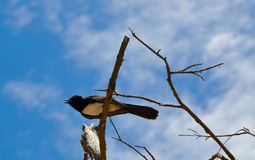 Willie Wagtail Calling Out. Black and white Willie Wagtail bird calling out from bare tree branches with a blue sky and cloud background Royalty Free Stock Photos