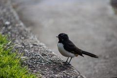 Willie Wagtail fågel på curbside arkivfoto