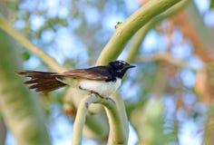 Willie Wagtail fågelsammanträde på filial i träd Royaltyfri Bild