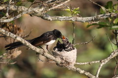 Willie Wagtail at nest. A willie wagtail feeding chicks at the nest Royalty Free Stock Photo
