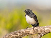Willie Wagtail on a Perch. A Willie Wagtail Rhipidura leucophrys, one of Australia`s most widespread bird species, photographed at Herdsman Lake in Perth Stock Photo