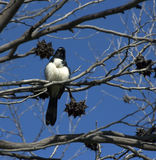 Willie wagtail perched in a dry gum tree. Stock Photography