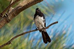 Willie-wagtail - Rhipidura leucophrys - black and white young australian bird, Australia, Tasmania.  Stock Image