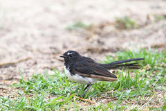 Willie Wagtail (Rhipidura leucophrys). On a dry lawn in Victor Harbor, South Australia, Australia Royalty Free Stock Images