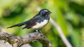 Willie Wagtail. The Willie Wagtail Rhipidura leucophrys is one of Australia`s most widespread bird species. It is also found in New Guinea, the Solomon Islands Royalty Free Stock Photos