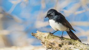 Willie Wagtail on Perch. The Willie Wagtail Rhipidura leucophrys is one of Australia`s most widespread bird species. It is also found in New Guinea, the Solomon Royalty Free Stock Images