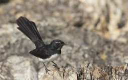 Willie wagtail perched on rock. A Willie Wagtail, Rhipidura leucophrys, perched on a rock Stock Image