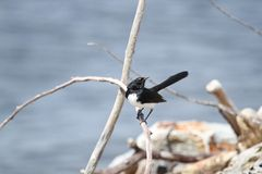 Willie Wagtail (Rhipidura Leucophrys) Stock Photos