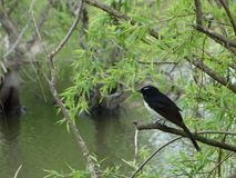 Willie Wagtail Stock Images