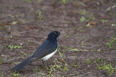 Willie Wagtail (Rhipidura Leucophrys) Royalty Free Stock Photography