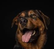 Williem, Hund, Dogtraining, glücklich, Hundelächeln Stockbild