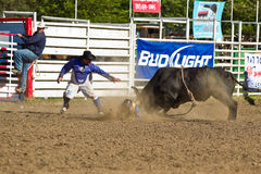 Willits Frontier Days Rodeo. WILLITS, CA - JULY 4: Bull prevail over participant at the Willits Frontier Days, California's oldest continuous rodeo, held July 4 Royalty Free Stock Photo