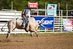 Willits Frontier Days Rodeo. WILLITS, CA - JULY 4: Another rodeo bareback bull rider trying to stay on a twisting bull at the Willits Frontier Days, California's Stock Photos