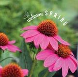 Willkommene Frühling coneflowers mit Text und Gekritzelabgabe geben Foto auf Lager frei Lizenzfreies Stockbild