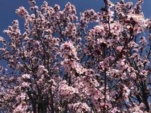 Willkommener Frühling der Kirschblüten stockfoto