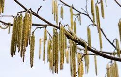 willow, Fotografia Stock