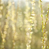 Willow royalty free stock images