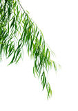 Willow Stock Photography