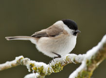 Willow. Tit in winter on a frozen branch Stock Image