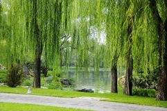 Willow Royalty Free Stock Photo