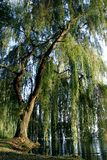 Willow. The old willow in a quiet lake Stock Images