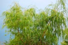 willow Fotografia Stock