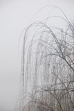Willow. Winter's morning, covers in the bad fog the willow Royalty Free Stock Photo