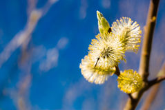 Willow. On blue backrgound in nice sunshine Royalty Free Stock Photos