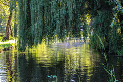 Willow above the water royalty free stock photography