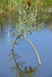 Willow arch reflecton in pond Stock Photo