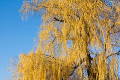 Willow autumn Stock Photos