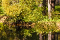 Willow with autumn foliage. Branches of willow with autumn foliage above the water stock photos