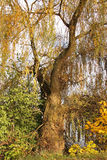Willow in autumn Royalty Free Stock Image