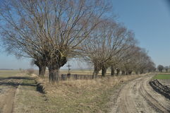 Willow Avenue. Headed willow as landscape. Royalty Free Stock Images