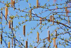 Willow background. Seeds and branches of a willow tree over a blue sky royalty free stock images
