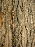 Willow bark. Textured bark of willow tree Royalty Free Stock Photography