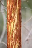 Willow bark eaten by deers Stock Images