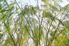 Salix is getting sunlight with bright leaves. Willow bent forward, the background gets light stock images
