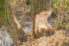 Willow bitten by Eurasian beaver (European beaver, Castor fiber). Trunk Willow (Salix L.) bitten by Eurasian beaver (European beaver, Castor fiber royalty free stock photo