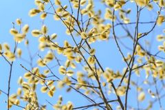 Willow in bloom Royalty Free Stock Photo