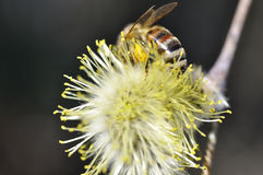 Willow bloom. Spring. Close view of willow blossom with a bee royalty free stock photography