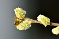 Willow blossom with bee Royalty Free Stock Photography