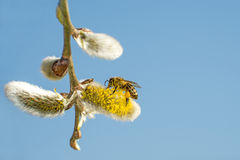 Willow blossom with bee Stock Images