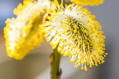 Willow blossom in a close-up royalty free stock photography